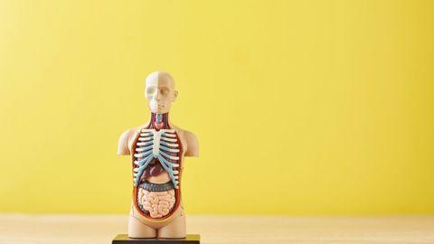 Fungsi Organ Homologi dan Analogi pada Tubuh Manusia